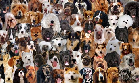 Quiz: Kjenner du igjen hunderasene?