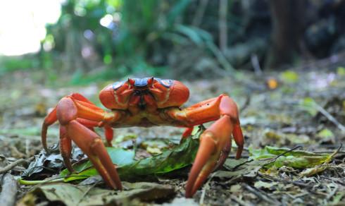 Plutselig tar 120 millioner røde krabber over øya. Veier stenges og bruer settes ut