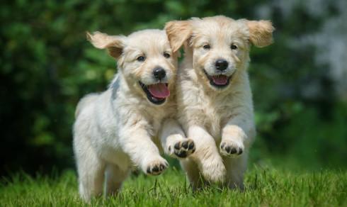 Quiz: Hvor god er du på hunderaser? Valpeversjon