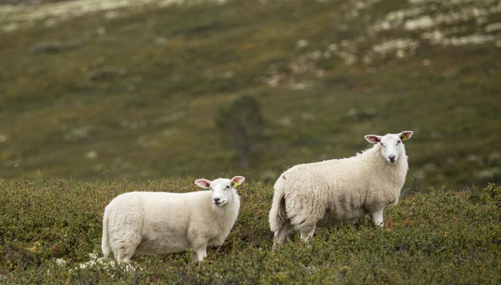 Ifølge Mattilsynet har de begynt å følge opp dårlig dyrehold mer systematisk enn tidligere. Illustrasjonsfoto: Paul Kleiven / NTB scanpix