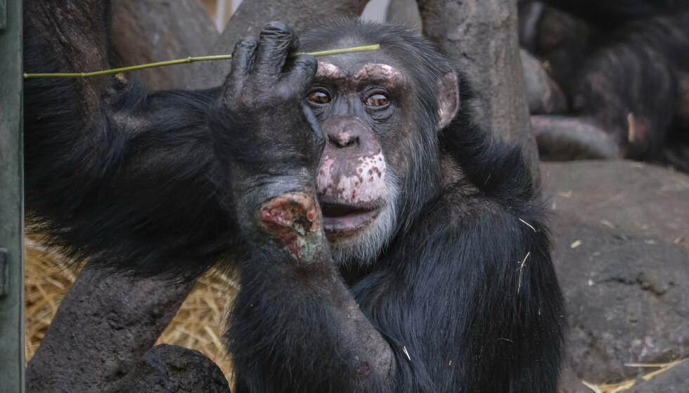 SYK: Sjimpansen Julius ble alvorlig syk etter at en flaske med narkotika ble kastet inn til ham i vinterferien. Kristiansand Dyrepark sier at det går bra med den 39 år gamle sjimpansen nå. Foto: Tor Erik Schrøder / NTB scanpix.