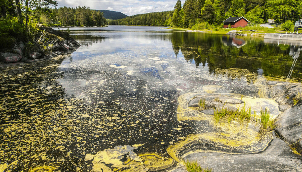 Pollen i vannet ved Skjærsjødammen i Nordmarka i Oslo i 2017. Foto: Halvard Alvik, NTB scanpix