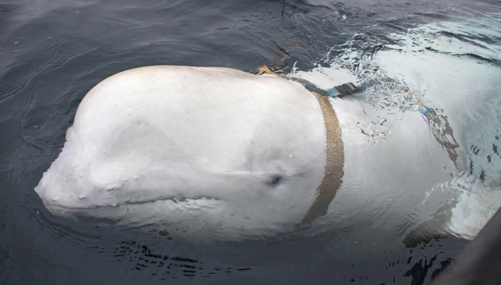 En hvithval iført en sele ble oppdaget av fiskere utenfor kysten av Finnmark forrige uke. (Foto: Jørgen Ree Wiig / Fiskeridirektoratet / NTB scanpix).