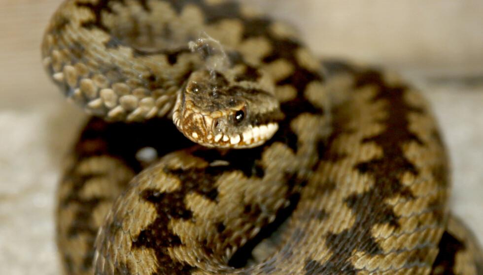Hoggorm er en av tre ormer i norsk fauna og den eneste giftige slangen. Foto: Terje Pedersen / NTB scanpix