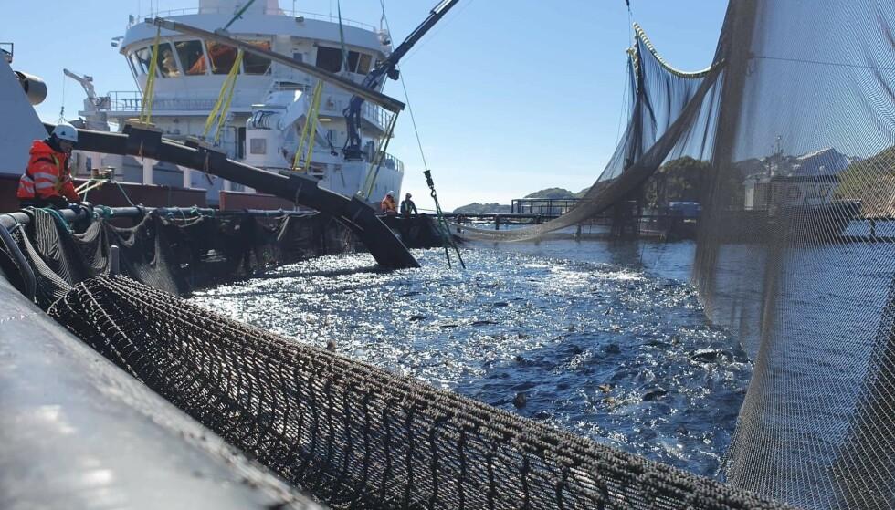 Nordlaks startet torsdag å laste 350.000 fisk på anlegget Kalvehodet i Øksfjorden i Lofoten over på brønnbåt for å unngå alger. Foto: Ivar Johnsen / Nordlaks / NTB scanpix