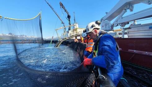 Nordlaks under evakuering av fisk fra Kalvehodet. Foto: Ivar Johnsen / Nordlaks / NTB scanpix