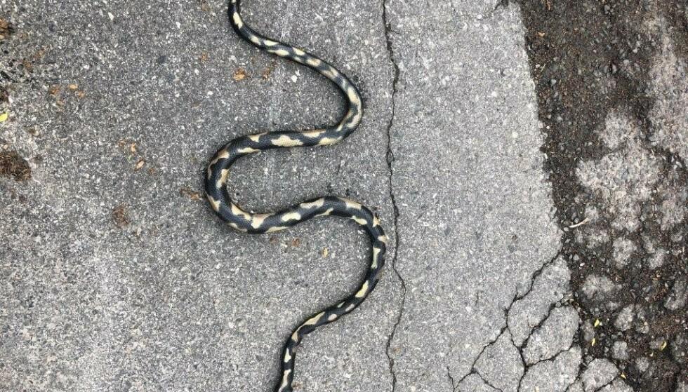 – Vi forstår publikums bekymring, da slangen så naturtro ut, skriver Oslo politidistrikt på Twitter. Foto: Politiet / NTB scanpix