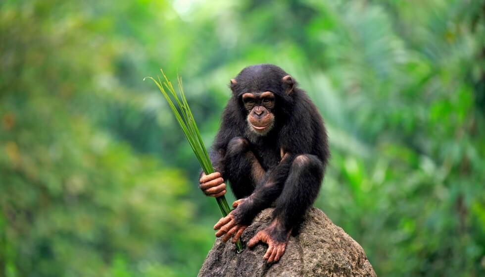 Sjimpanse er det eneste dyret som har en DNA-likhet med mennesket på 98 prosent. (Foto: Christine Jurgen Rex Shutterstock)