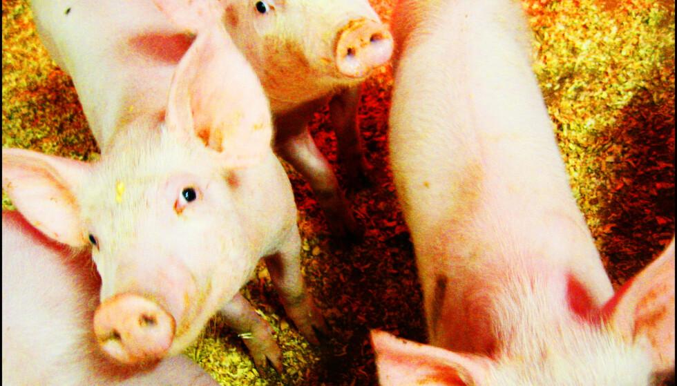 NRK-dokumentar om svineprodusenter ryster politikerne