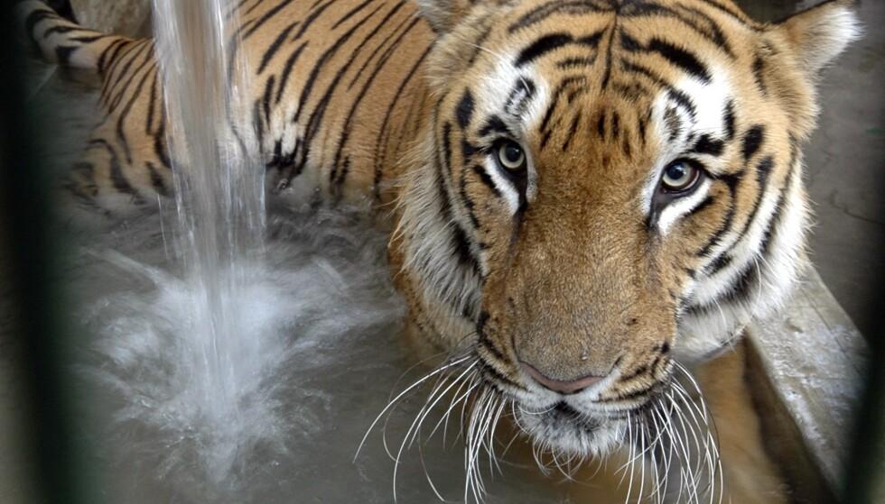 Det blir stadig færre ville tigre i verden. Denne lever i en dyrehage i Ahmadabad i India. Foto: AP / NTB scanpix