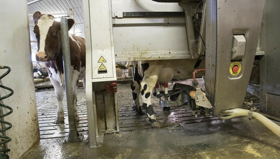 Norske melkebønder går tøffe tider i møte. Nye regler fra WTO betyr at Norge må kutte ut eksportstøtte som har bidratt til å holde melkeproduksjonen oppe. Nordmenn drikker dessuten mindre melk enn før, samtidig som det importeres stadig mer av blant annet sjokolademelk og oster. Illustrasjonsfoto: Terje Bendiksby / NTB scanpix