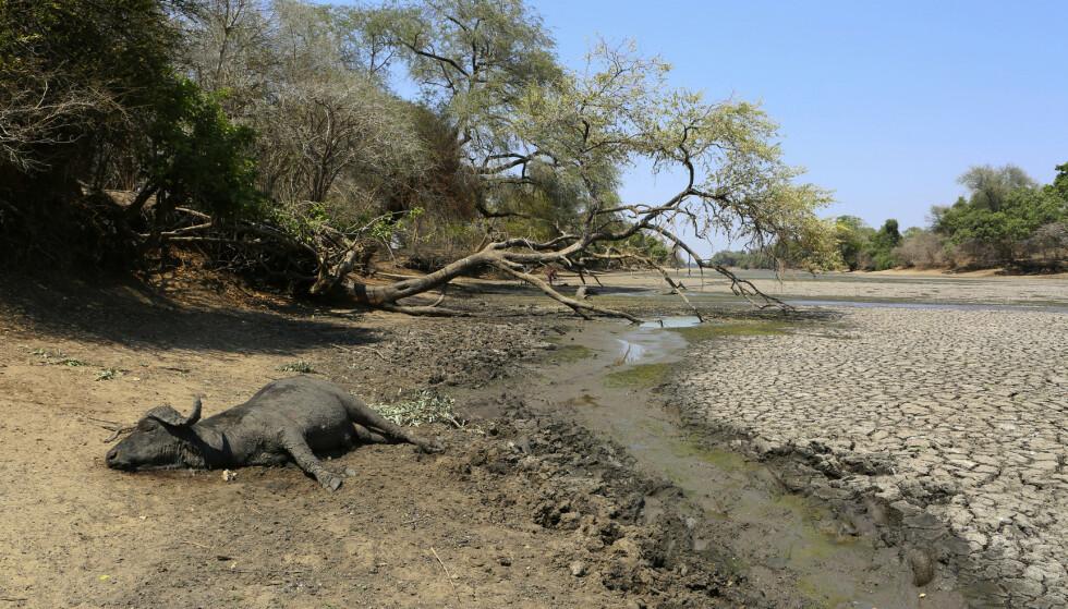 En død buffalo ligger ved det som var en flerårig vannkilde i nasjonalparken Mana Pools i Zimbabwe. Elefanter, sebraer og flodhester og mange andre arter rammes av mangelen på mat og vann i området. Foto: Tsvangirayi Mukwazhi / AP / NTB scanpix