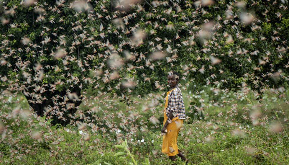 Den mest alvorlige gresshoppeinvasjonen på 70 år sprer seg i Kenya og utgjør en stor trussel mot matsikkerheten i Øst-Afrika. Her rammes en bonde av skadedyrene i den kenyanske landsbyen Katitika i forrige uke. Foto: Ben Curtis / AP / NTB scanpix