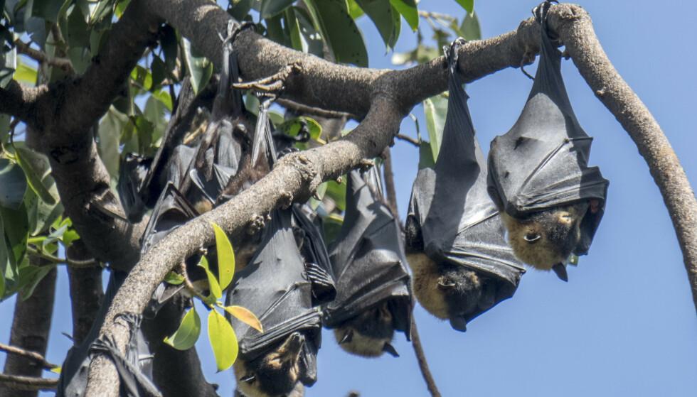 Storflaggermus, også kalt flygehunder, har et vingespenn opp mot halvannen meter. Disse flaggermusene er fotografert i et tre i Cairns i Australia. Forskere mener nå at flaggermus kan ha bidratt til spredningen av Wuhan-viruset. Illustrasjonsfoto: Paul Kleiven / NTB scanpix