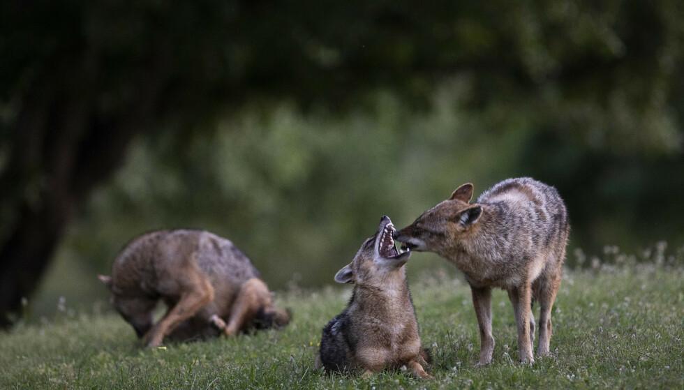 Sjakaler er sky dyr og lever vanligvis i utkanten av de store Hayarkon-parken utenfor Tel Aviv. Under coronapandemien er parken nesten folketom, og dyrene har rykket inn. Foto: AP / NTB scanpix