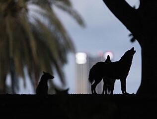 Når mørket senker seg over Hayarkon-parken i Tel Aviv, begynner ulingen fra sjakaler. Foto: AP / NTB scanpix