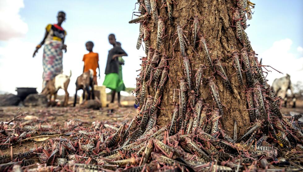 Alt før koronaviruset rammet, advarte WFP om at verden som følge av krig og konflikter, gresshoppeinvasjon i Afrika, hyppigere naturkatastrofer og økonomisk krise, ville oppleve «den verste humanitære krisen siden andre verdenskrig» i år. Kenya (bildet) er blant landene som de siste ukene har vært rammet av en gresshoppeinvasjon. Foto: FAO / AP / NTB scanpix
