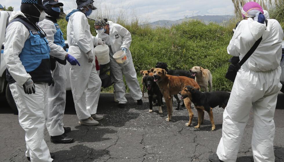 Hunder kan muligens trenes opp til å lukte seg fram til koronasmitte. Her gir kommuneansatte i Quito i Ecuador mat til løshunder under koronautbruddet. Illustrasjonsfoto: Dolores Ochoa / AP / NTB scanpix