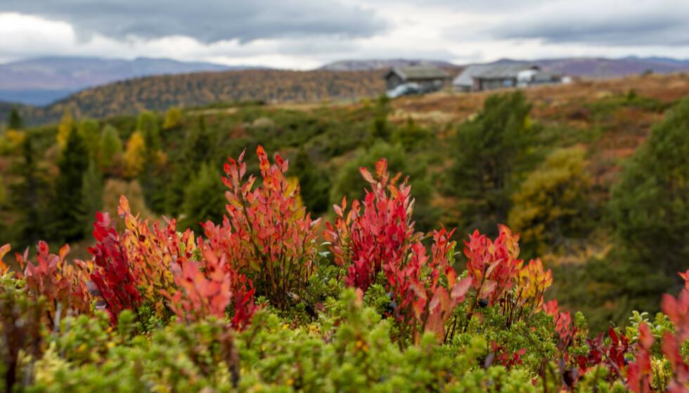 Høstfarger i fjellet. Det blir vind, men tørt og fint vær med sol i store deler av Vestlandet, Midt-Norge og i nord denne helgen. Foto: Paul Kleiven / NTB