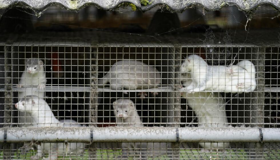 Det var fredag påvist coronasmitte hos mink i til sammen seks land, ifølge Verdens helseorganisasjon WHO. Foto: Mads Claus Rasmussen / Ritzau Scanpix via AP / NTB