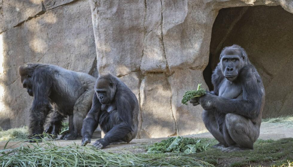 Opp mot åtte gorillaer i San Diego Zoo Safari Park i California har testet positivt på koronavirus. Foto: Ken Bohn / San Diego Zoo Safari Park via AP / NTB