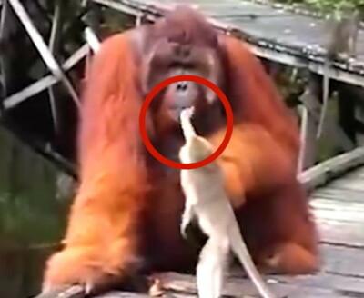 Image: Apen angrer: - Å dæven!