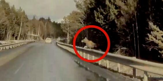 Image: Tesla-sjåføren overraskes av elgen