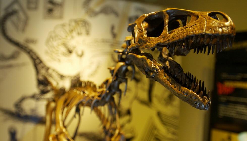 Dette beistet av en Tyrannosaurus rex besøkte Oslo for noe år siden. Stan som den heter, var 13 meter lang i levende live. Foto: Thomas Bjørnflaten / NTB