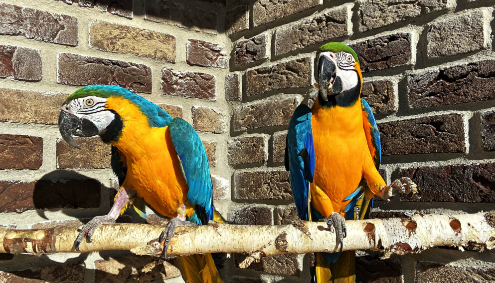 Papegøyene Pia og Pelle etter at de ble gjenforent av Vestfold interkommunale brannvesen. Foto: Vestfold Interkommunale Brannvesen / NTB