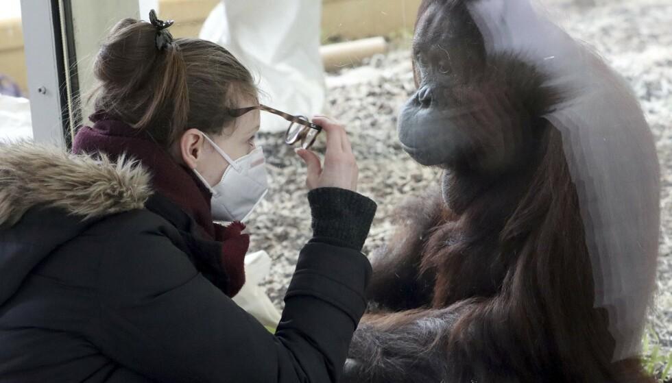 Bruk av maske er blitt obligatorisk i kontakten med dyr i dyreparker som følge av frykt for at mennesker skal overføre koronaviruset til dyr. Her fra Schönbrunn Zoo i Wien. Foto: AP/ NTB)
