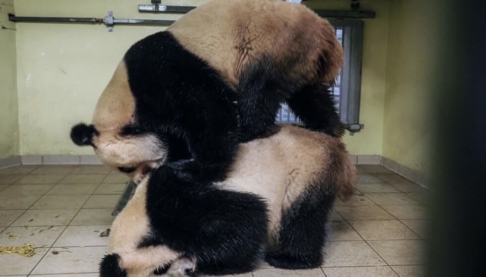Et pandapar paret seg åtte ganger i en fransk dyrepark. Foto: NTB scanpix / AFP