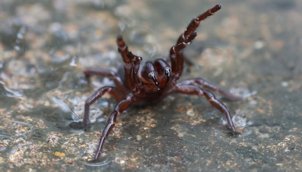 Innbyggere i Sydney advares om at slike edderkopper, den dødelige funnel-web-edderkoppen, kan være på vei inn i hjemmene deres. Foto: NTB scanpix / THE AUSTRALIAN REPTILE PARK / AFP)
