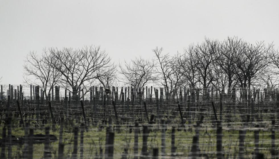 Lave temperaturer og frost har gjort skade på store deler av årets vinproduksjon i Frankrike. Illustrasjonsfoto: Christophe Ena / AP / NTB