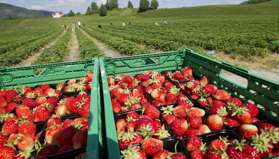 Vanskeligheter med å få inn arbeidskraft skaper store utfordringer for jordbærprodusentene. Foto: Gorm Kallestad / NTB