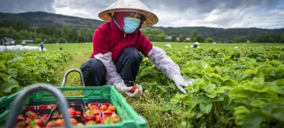 «Og sånn kan det gå til at det ikke blir deilige, søte norske jordbær i år»