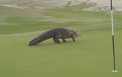 Image: Ser det er noe galt med alligatoren