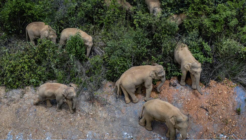 Elefantene har spist seg gjennom vegetasjon og jorder på sin lange vandring siden midten av april. Foto: Hu Chao / Xinhua via AP / NTB
