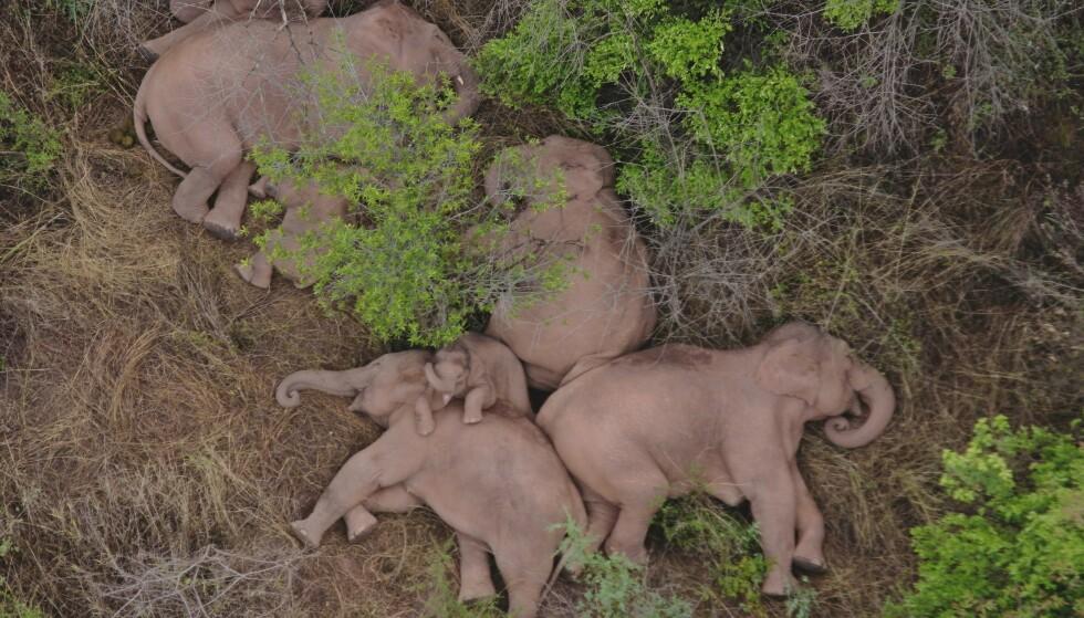 Rampeflokken med elefanter slapper av etter mange ville eventyr i Kina. Her på dronebilder fra skogen i Yunnan 7. juni. Foto: Yunnans skogbranntjeneste / AP / NTB