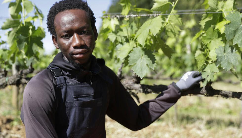 Ghaneseren Yahya Adams kom til Europa som mindreårig asylsøker og er så glad for å ha fått arbeid på den italienske vingården. Foto: Gregorio Borgia / AP / NTB