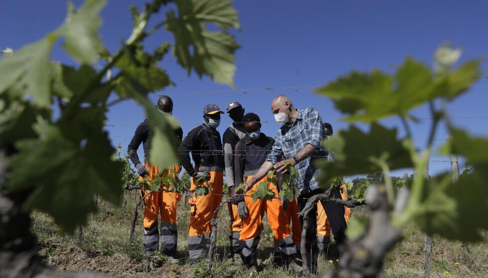 Gårdbruker Vittorio Stringari forklarer Yahya Adams fra Ghana, Ibrahima Fofana fra Mali, Samadou Yabati fra Togo og Tholley Osman fra Sierra Leone hvordan man kutter blader av vinrankene. Foto: Gregorio Borgia / AP / NTB