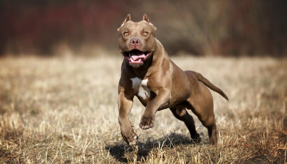 Pit Bull og Rottweiler er blant hundene som dreper flest mennesker (tall fra USA). FOTO: Ivanova N / Shutterstock / NTB