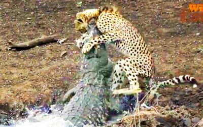 Image: Fanget leopardens dødskamp på film