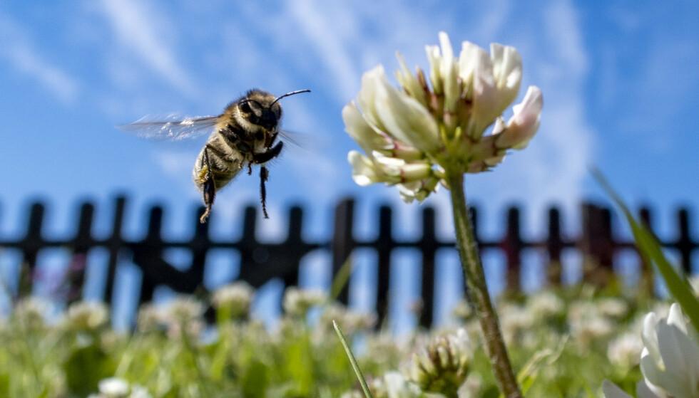 En antatt lykkelig bie i svevet ved en hvitkløver. Miljødirektoratet gir tips til hvordan vi kan hjelpe bier og andre pollinerende insekter til å overleve og trives. Foto: Paul Kleiven / NTB