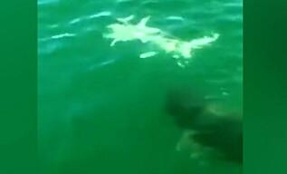 Image: Haien er sjanseløs