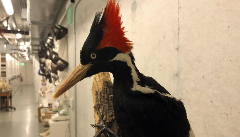 En utstoppet elfenbeinsspett hos California Academy of Sciences i San Francisco. Amerikanske myndigheter regner nå fuglen som utdødd. Foto: Haven Daley / AP / NTB