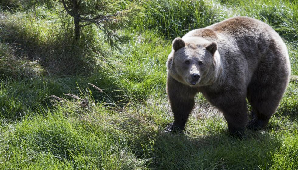 Hvordan forholder man seg best til en bjørn man støter på i naturen? Det vil en japansk duo lære innbyggerne i Iwate-regionen. Illustrasjonsfoto: Berit Roald/NTB