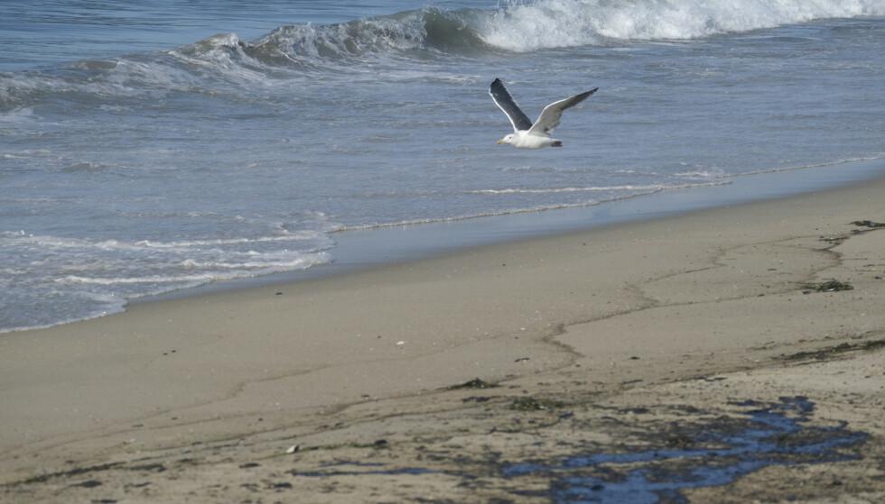 En måke flyr over olje som alt er skylt opp på stranda i Huntington Beach i California søndag. Foto: Ringo H.W. Chiu / AP / NTB