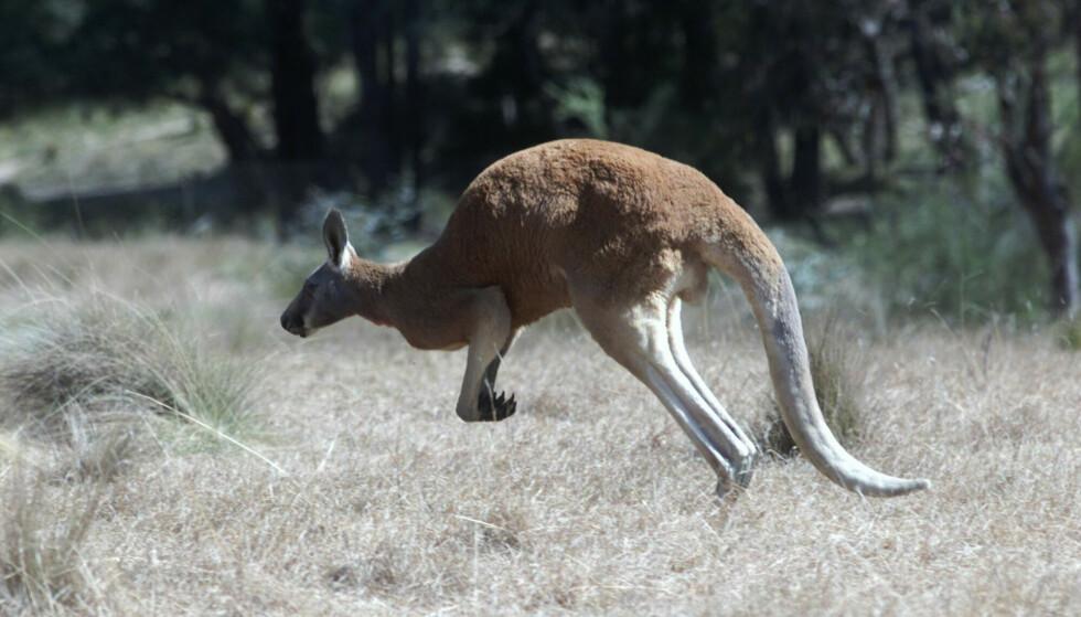 Politiet i den australske delstaten New South Wales mistenker at noen med overlegg har drept 14 kenguruer. Foto: Erik Johansen / NTB