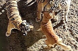 Image: Hunden omringes av tigere - så skjer noe uventet