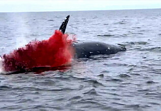 Image: Her eksploderer hvalen